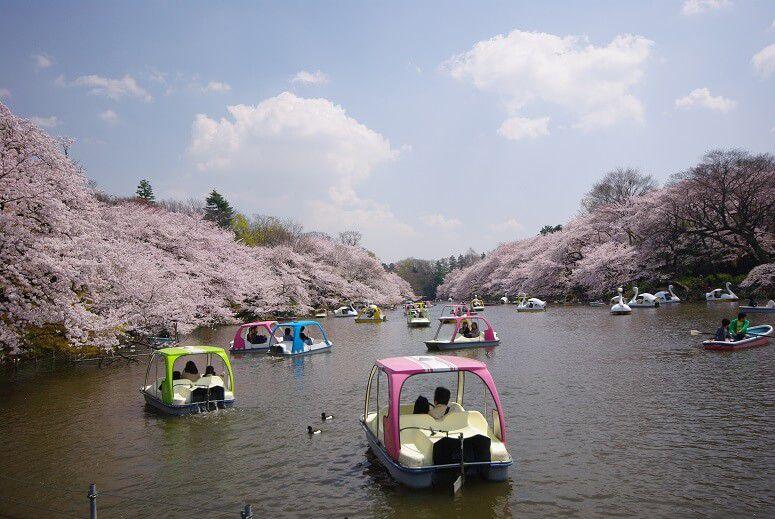 10 สถานที่ 10 งานเทศกาลชมซากุระในโตเกียว สวนอิโนะคาชิระ | Inokashira Onshi Park