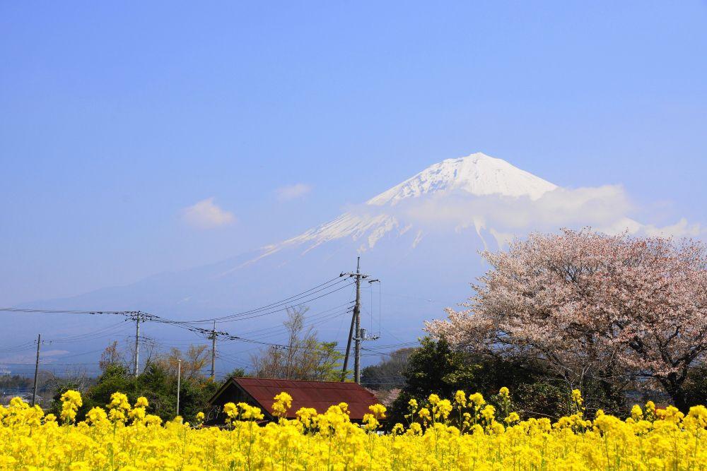 Kariyado no Gebazakura (狩宿の下馬桜) จังหวัด Shizuoka (静岡県)