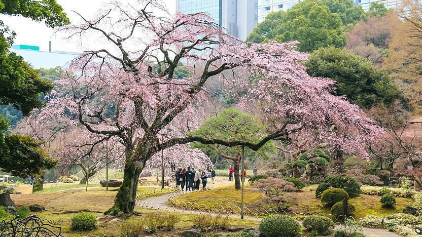 10 สถานที่ 10 งานเทศกาลชมซากุระในโตเกียว สวนโคอิชิกาว่า โคระคุเอ็น | Koishikawa Korakuen