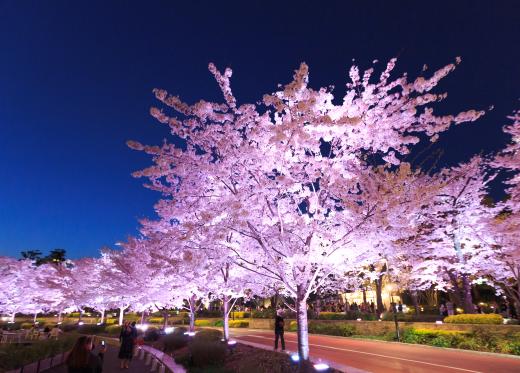 10 สถานที่ 10 งานเทศกาลชมซากุระในโตเกียว โตเกียว มิดทาวน์ รปปงงิ | Tokyo Midtown Roppongi