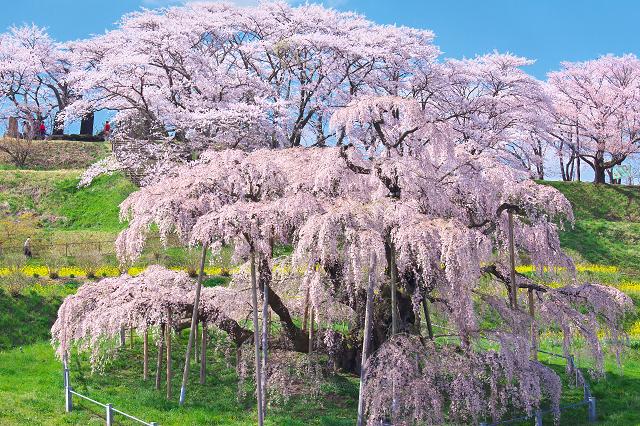 '5 ซากุระเก่าแก่ที่สุดในญี่ปุ่น สักครั้งหนึ่งในชีวิตต้องไป!