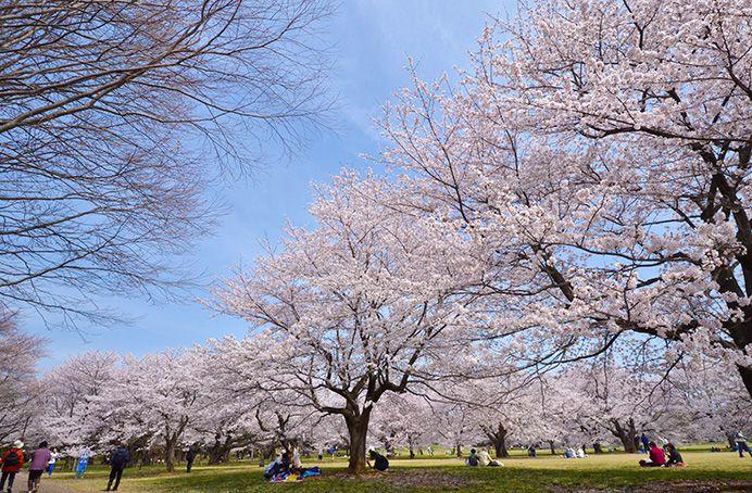 10 สถานที่ 10 งานเทศกาลชมซากุระในโตเกียว สวนโชวะ คิเนน โคเอ็น | Showa Memorial Park