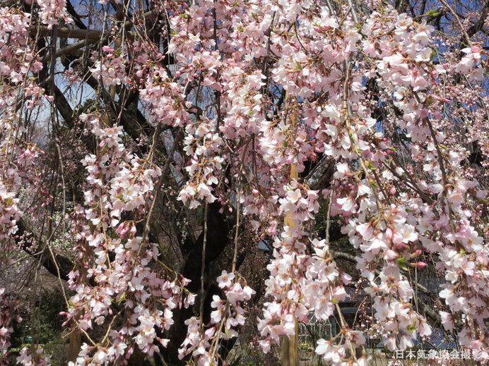Yamataka Jindai Zakura (山高神代桜) จังหวัด Yamanashi (山梨県)