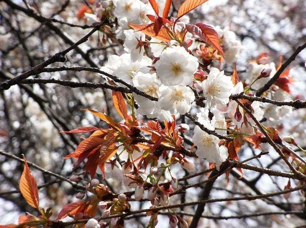 Shiogama zakura