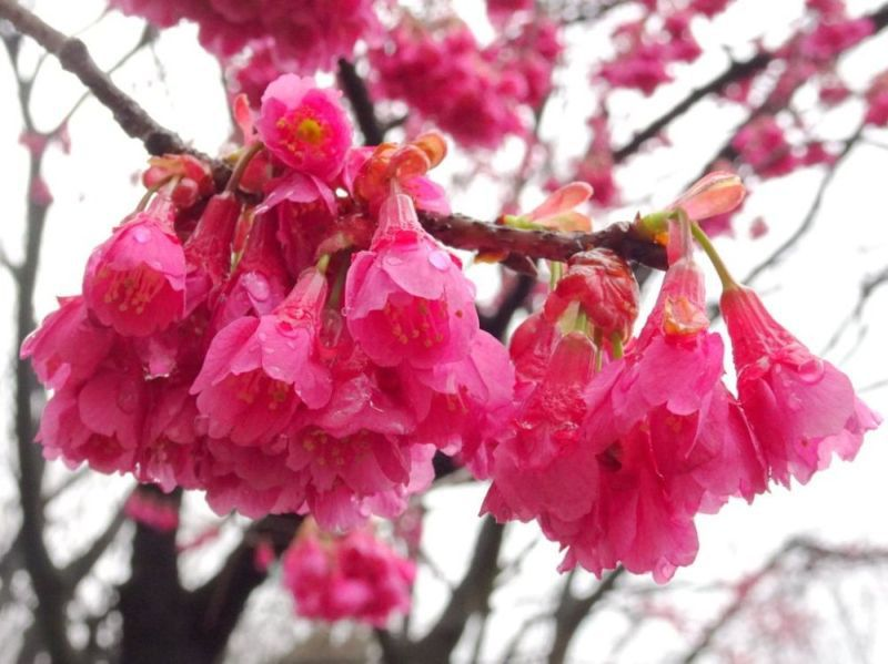 Kanhi zakura