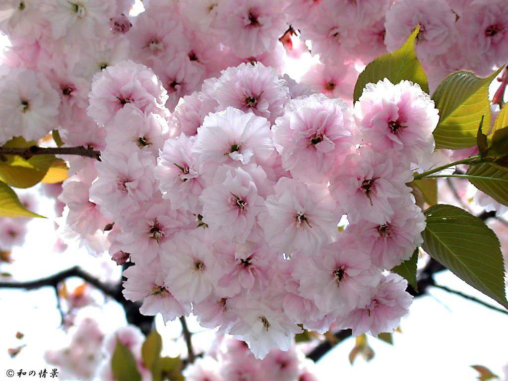 Fugenzo zakura