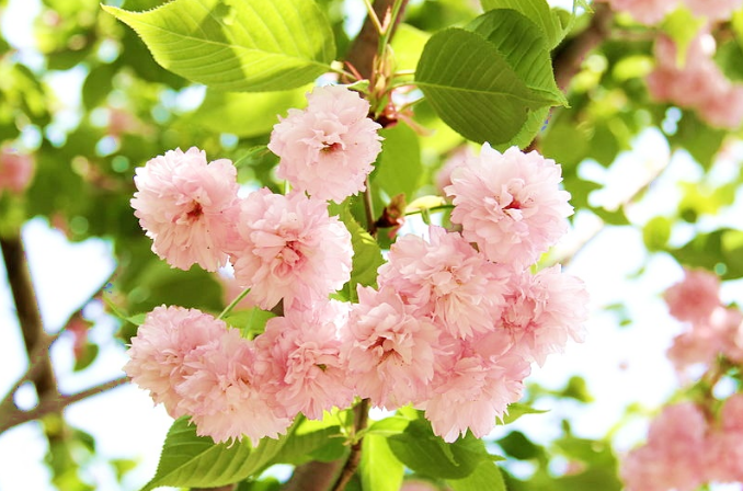 Kiku zakura