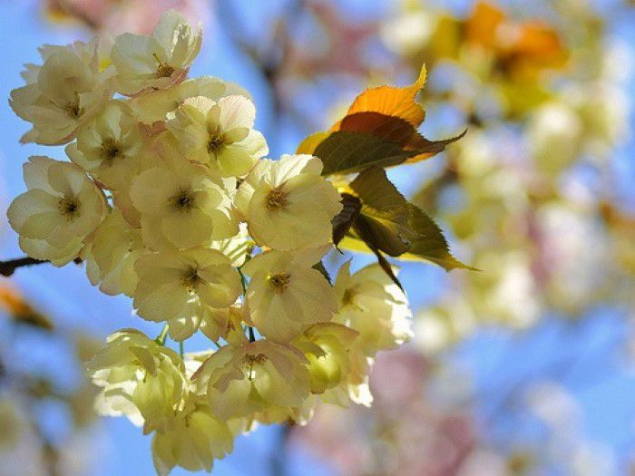 Ucon zakura