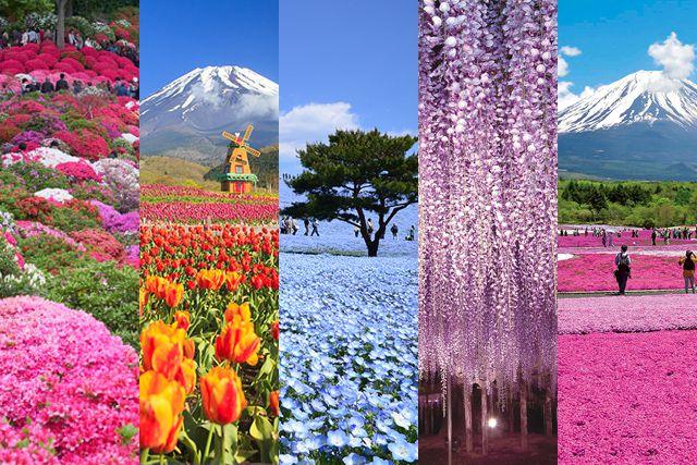 5 เทศกาลชมดอกไม้สวยในฤดูใบไม้ผลิ ใกล้โตเกียว