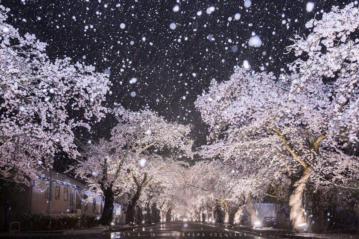 เมื่อหิมะตกในวันซากุระผลิบาน บรรยากาศน่ามหัศจรรย์ที่หาชมได้ยาก