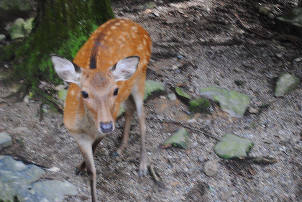 กวางที่นารา deer nara