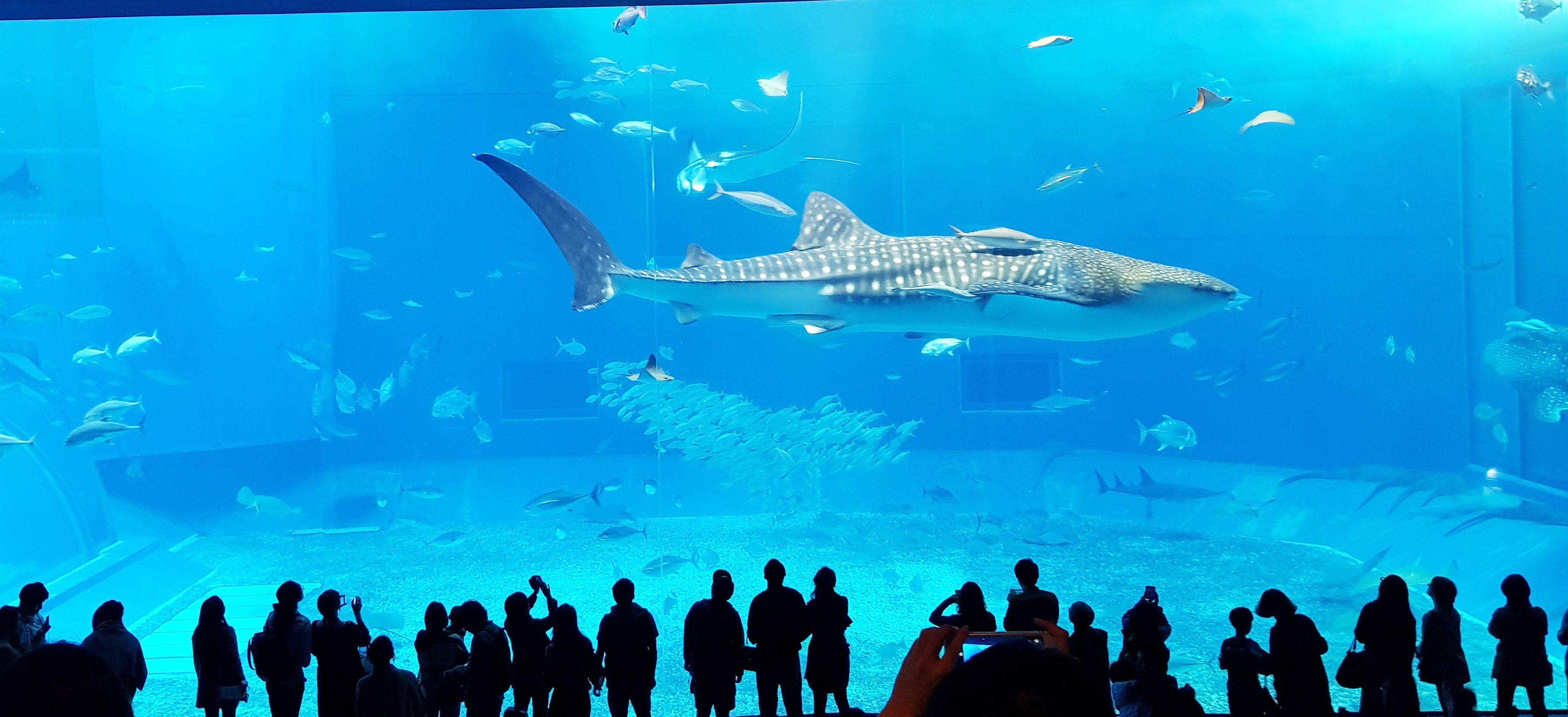 พิพิธภัณฑ์สัตว์น้ำชูราอุมิ (Okinawa Churaumi Aquarium)