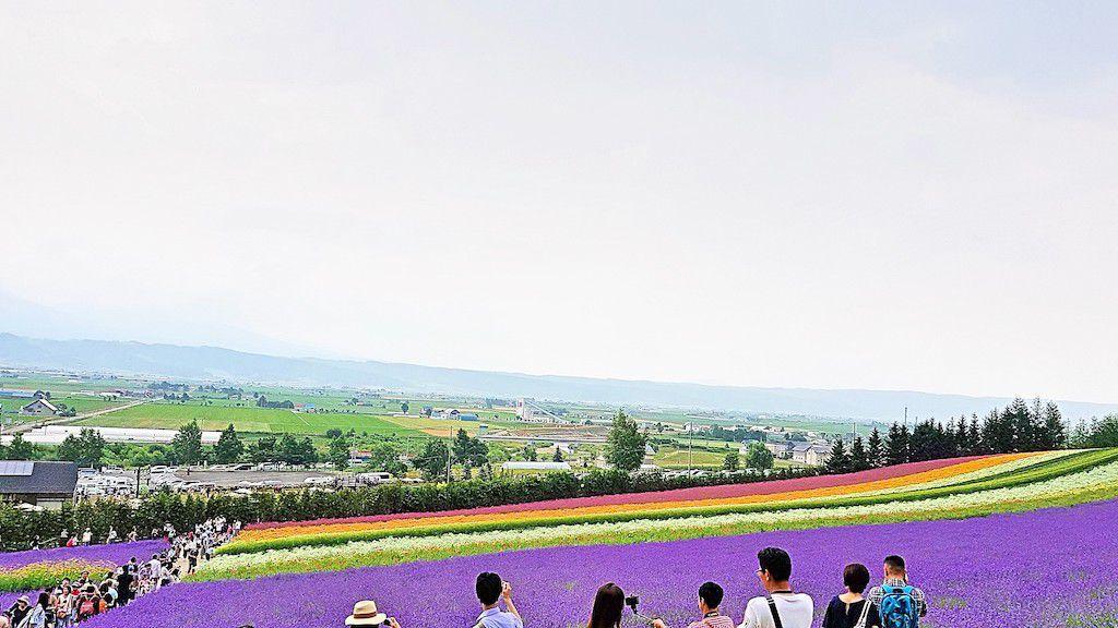 ฮอกไกโด(hokkaido) ฟาร์มโทมิตะ(Farm Tomita) ดอกลาเวนเดอร์ (Lavandula)
