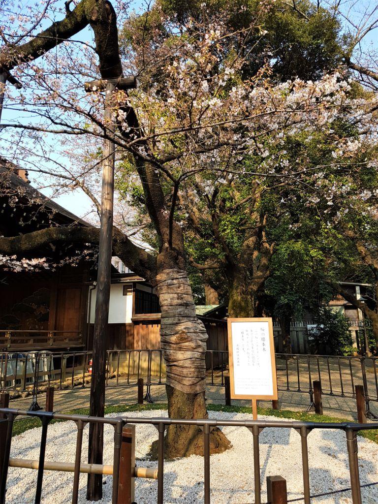 ต้นซากุระพยากรณ์ บริเวณศาลเจ้า Yasukuni Shrine