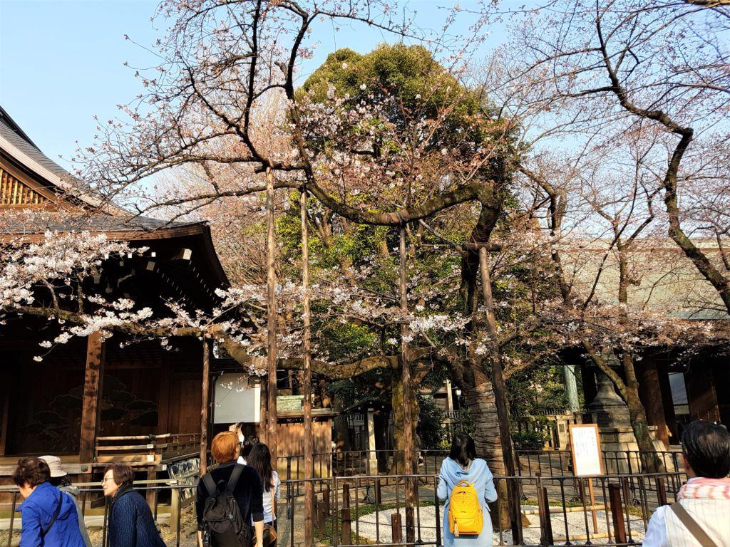 ต้นซากุระพยากรณ์โซนโตเกียว บริเวณศาลเจ้า Yasukuni Shrine
