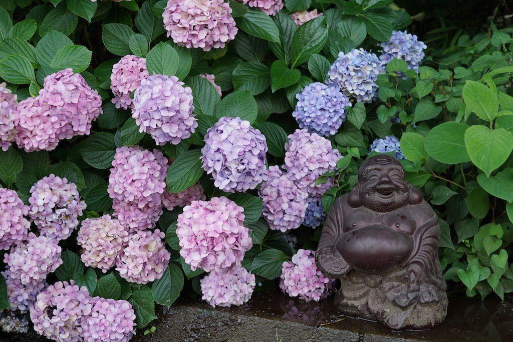 จุดชมดอกไฮเดรนเยียที่ญี่ปุ่นเมืองโตเกียว