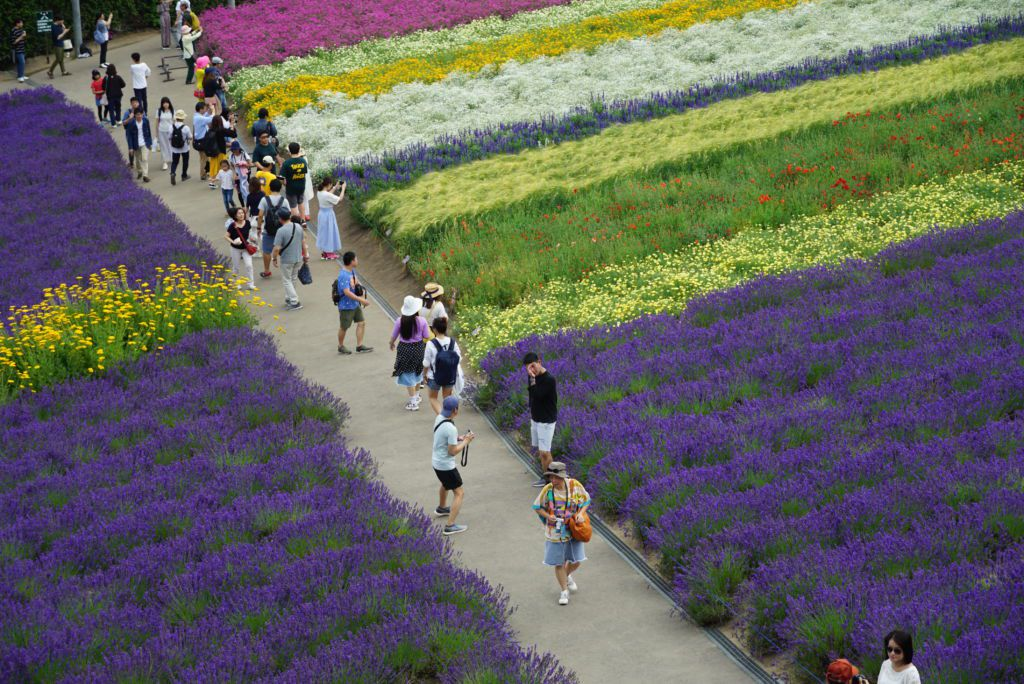 ทุ่งดอกไม้หลายสีที่ฟาร์มโทมิตะ (Tomita Farm)