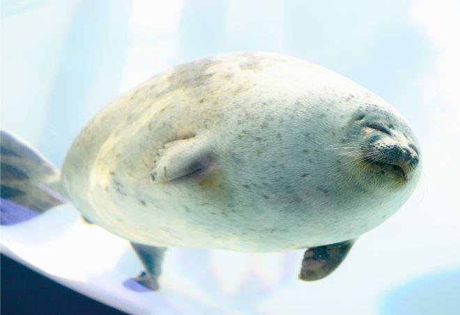 แมวน้ำ อาราเร่จัง ของพิพิธภัณฑ์สัตว์น้ำไคยูคัง โอซาก้า