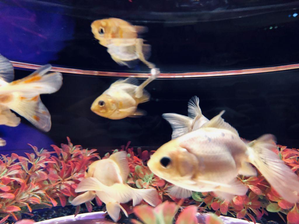 งานปลาทองย้อนยุคที่ Aquarium Tokyo ญี่ปุ่น