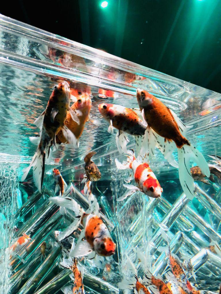 บรรยากาศนิทรรศการงานปลาทองที่ Aquarium Tokyo ญี่ปุ่น