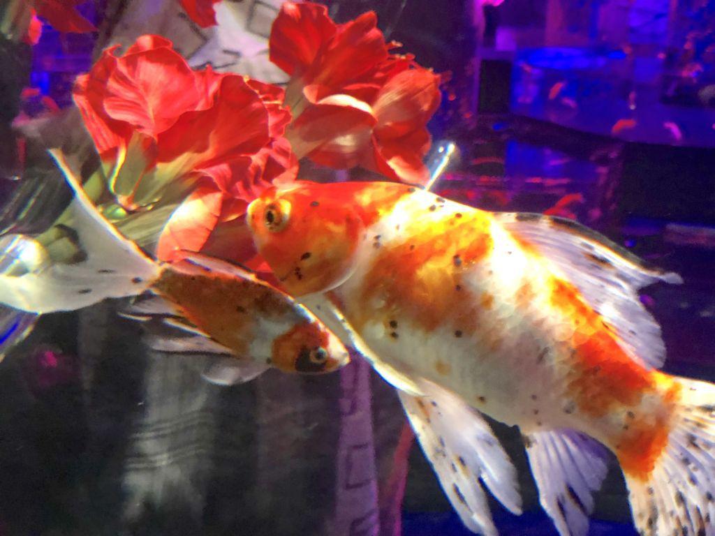นิทรรศการงานปลาทองที่ Aquarium Tokyo ญี่ปุ่น