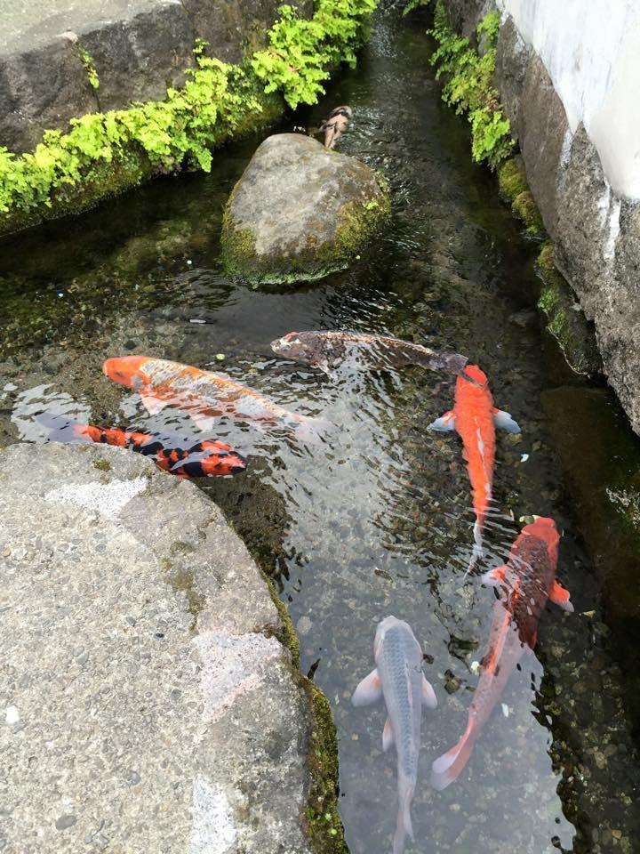 ท่อระบายน้ำปลาคาร์ฟ
