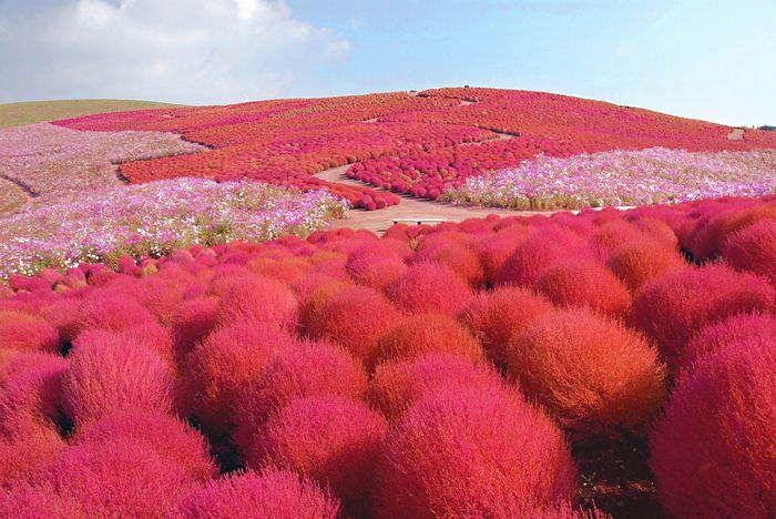 7 เทศกาลชมดอกไม้ใกล้โตเกียว ห้ามพลาดในฤดูใบไม้ร่วง
