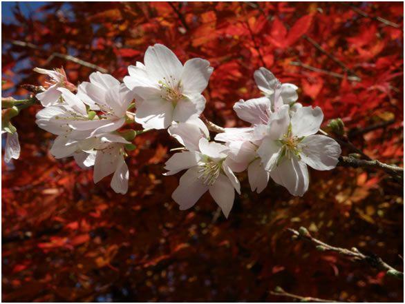 Obara & Korankei ได้ชมทั้งซากุระและใบไม้เปลี่ยนสีในช่วงเวลาเดียวกัน