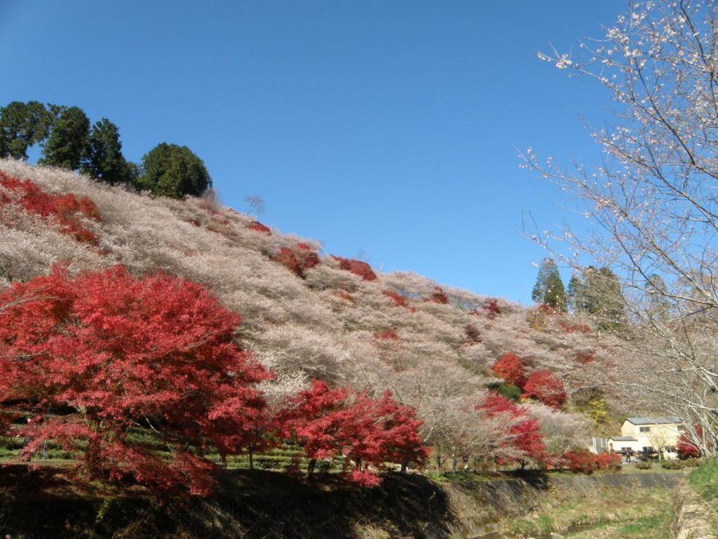 เทศกาลชมดอกซากุระสี่ฤดู หรือชิคิซากุระ (Obara Shiki-zakura Matsuri)