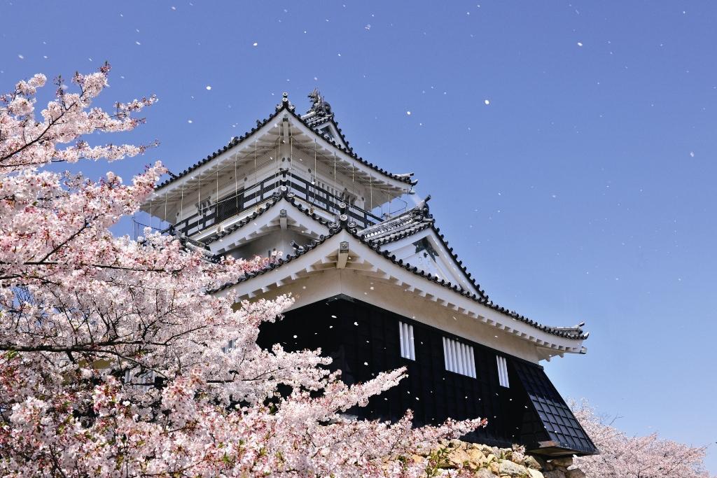 ชมซากุระที่ปราสาทฮามามัตสึ