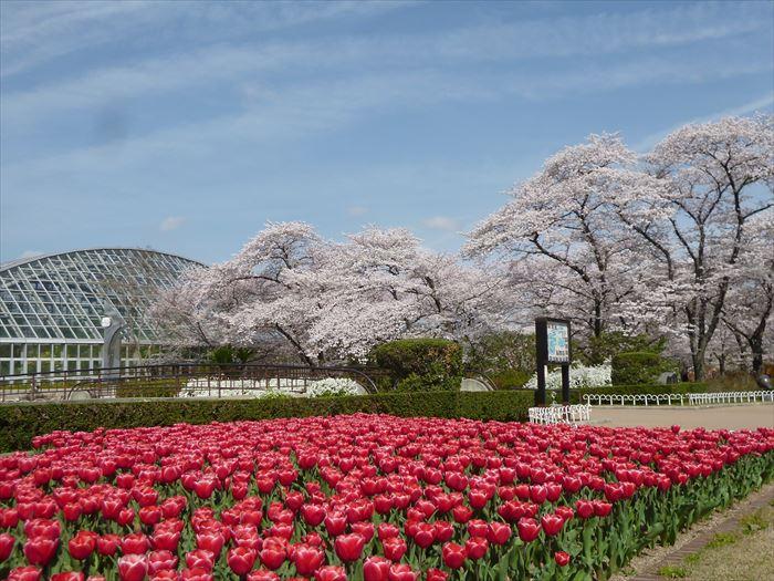 สวนพฤกษศาสตร์เกียวโต (Kyoto Botanical Garden | 京都府立植物園) 15 จุดชมซากุระต้องห้ามพลาดในเกียวโต (Kyoto)
