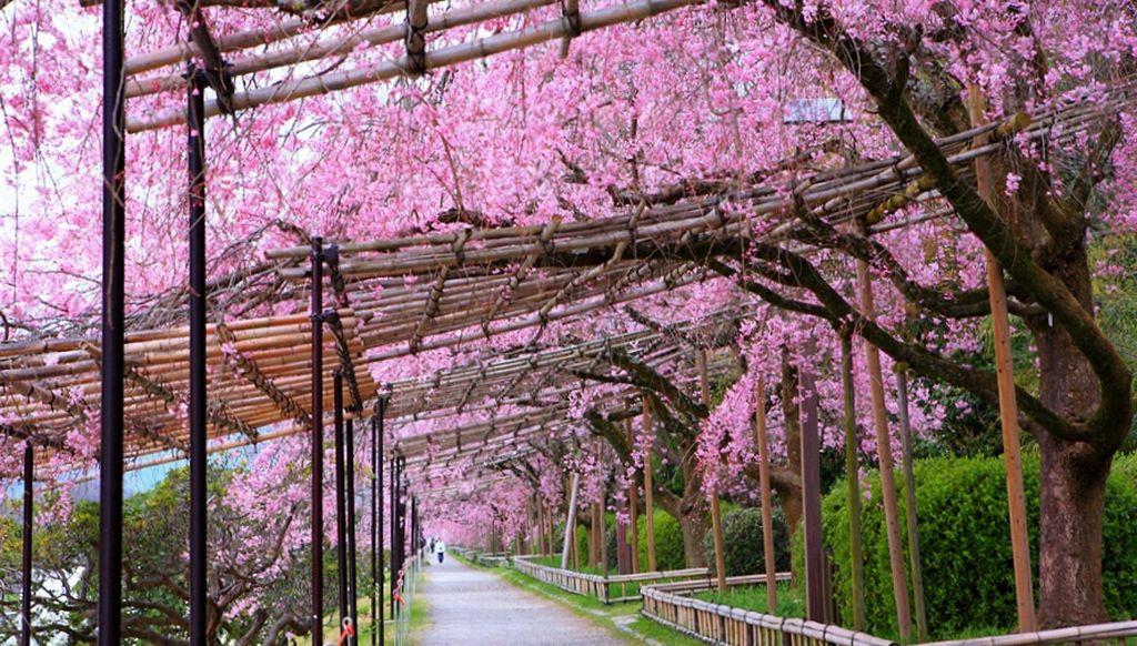 ทางเดินนาคารากิ ริมแม่น้ำคาโมะ (Nakaragi Path - Kamogawa | 半木の道 - 鴨川) 15 จุดชมซากุระต้องห้ามพลาดในเกียวโต (Kyoto)
