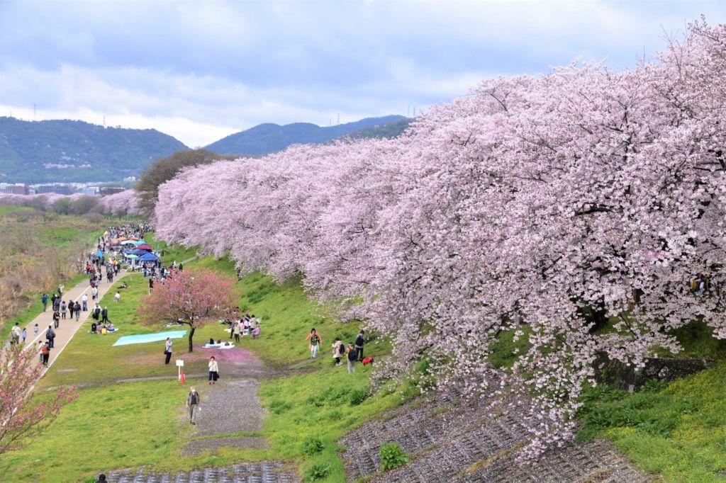 สวนสาธารณะริมแม่น้ำโยโดกาวา (Yodogawa Riverside | 淀川河川公園背割堤地区) 15 จุดชมซากุระต้องห้ามพลาดในเกียวโต (Kyoto)