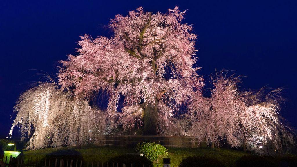 สวนสาธารณะมารุยามะ (Maruyama Park | 円山公園) 15 จุดชมซากุระต้องห้ามพลาดในเกียวโต (Kyoto)